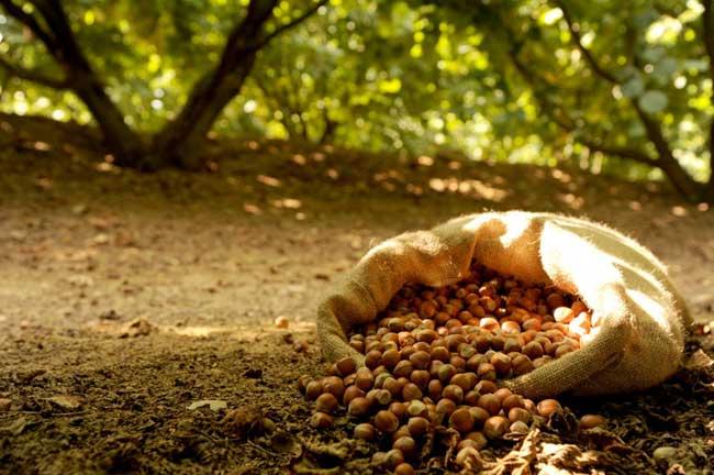 Nocciole frutto del benessere