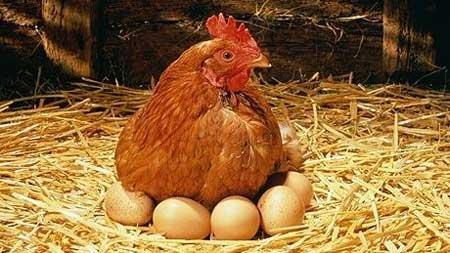 Gallina che cova delle uova. Proteine dell'uovo: effetti sugli sportivi.