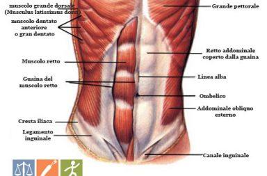 Muscoli Addominali - Posizionamento e Funzioni