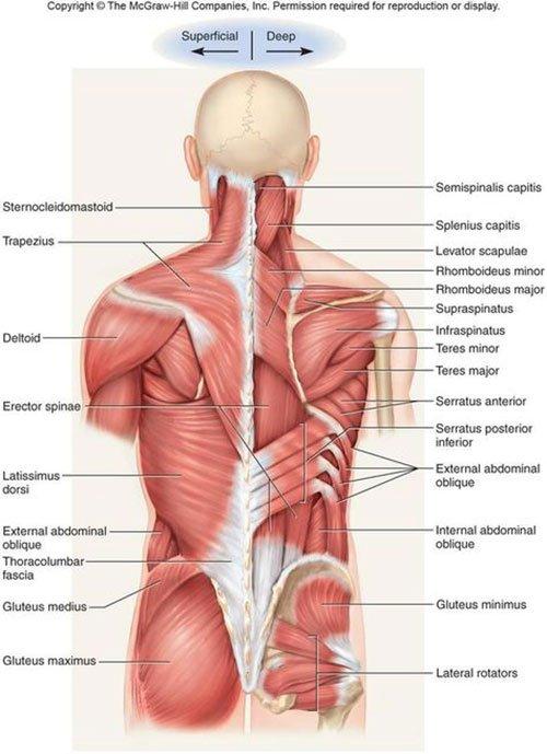 Muscoli schiena anatomia